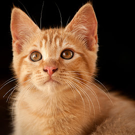 Naughty kid by Andrea Tosini - Animals - Cats Kittens ( cat, sweet, red, kitty, eyes, animal )