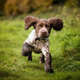 Cocker Spaniel Puppy by Jude Stewart - Animals - Dogs Puppies ( spaniel, cocker spaniel, outdoor, puppy, running, cocker )