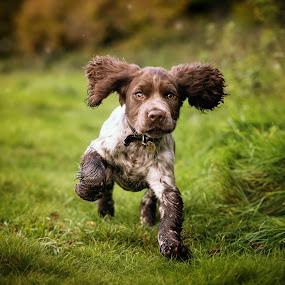 Cocker Spaniel Puppy by Jude Stewart - Animals - Dogs Puppies ( spaniel, cocker spaniel, outdoor, puppy, running, cocker,  )