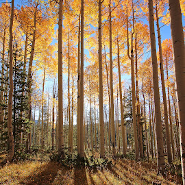 Aspen Lines by Kirby Hornbeck - Nature Up Close Trees & Bushes ( autumn, wyoming, fa, trees, leaves )