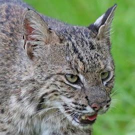 Bobcat up close. by Anthony Goldman - Animals Lions, Tigers & Big Cats ( wild, predator, bobcat, small cat, florida, circle b bar reserve, lakeland,  )
