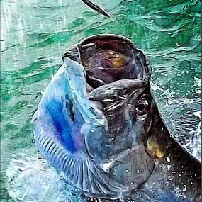 Feeding the Tarpon by Nancy Sadowski - Animals Other Mammals ( islamorada, tarpon, fish, feeding, florida keys )