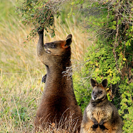 Mr. & Mrs Wallaby by Susan Marshall - Animals Other Mammals ( animals  nature, nature, wildlife, wallaby,  )