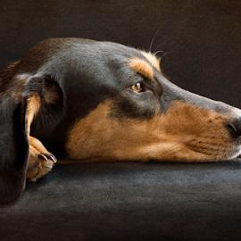 Greek Hare Hound by Linda Johnstone - Animals - Dogs Portraits ( black background, natural light, dog on sofa, dogs, rescue, black & tan dog, thoughtful, greek hare hound, portrait )