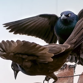 Clash of the Titans by Sheen Deis - Animals Birds ( nature, grackles, nature in action, blackbirds,  )