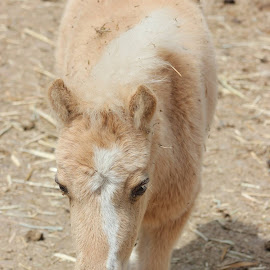 She is the sweetest little filly.. her name is Piece of Me Bling Bling Carmelita... by Colette Griffin - Animals Horses