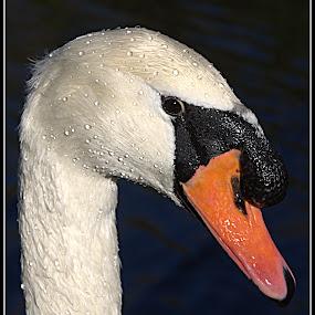 Elegance by Alex Graeme - Animals Birds ( bosherston ponds, wales, pembrokeshire, swan )
