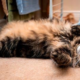Evening relax by Aleksandra Ewa Chmiel - Animals - Cats Portraits
