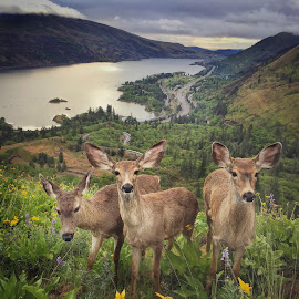 Breakfast With a Few Deer Friends by Jake Egbert - Instagram & Mobile iPhone ( wildlife, sunrise, iphone, columbia river gorge, rowena crest, deer )