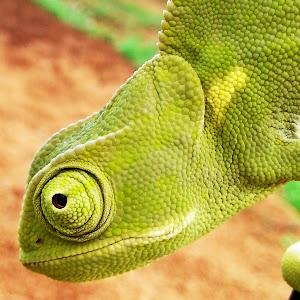 chameleon samsung.jpg