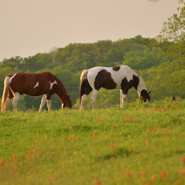 Pintos Grazing  5896 by Jim Suter - Animals Horses (  )