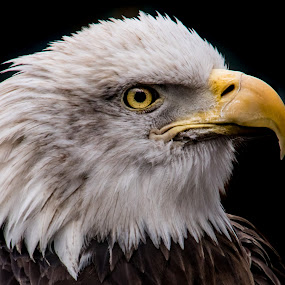 Bald Eagle by Kimberly Sharp - Animals Birds ( bird, eagle, bird of prey, avian, majestic, bald eagle, beak, wildlife, raptor, feathers, bird photography,  )