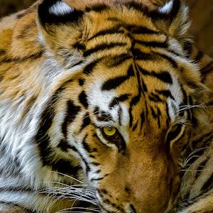 Tiger-107.jpg