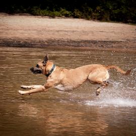 The Big Splash by Myra Brizendine Wilson - Animals - Dogs Playing ( lake norman, canine, belgian malinois, dogs, belgian shepherd, pet, pets, brown dog, brown dogs, dog, malinois, roxy running in water,  )