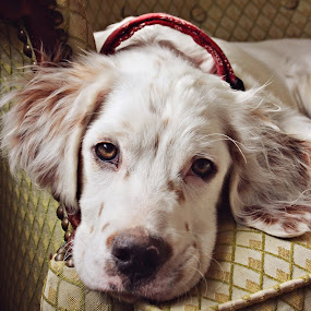 Bedroom Eyes by Danica Barreau - Animals - Dogs Portraits ( deaf dog, puppy, english setter, dog )