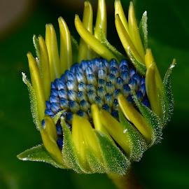 Caronaria Anemone Bud by Millieanne T - Flowers Flower Buds