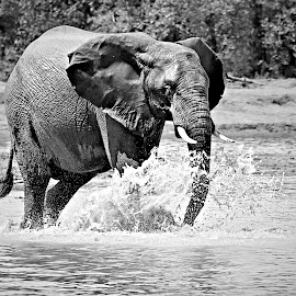 River Crossing by Pieter J de Villiers - Black & White Animals