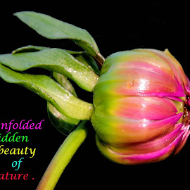 BUD OF DAHLIA by SANGEETA MENA  - Typography Quotes & Sentences
