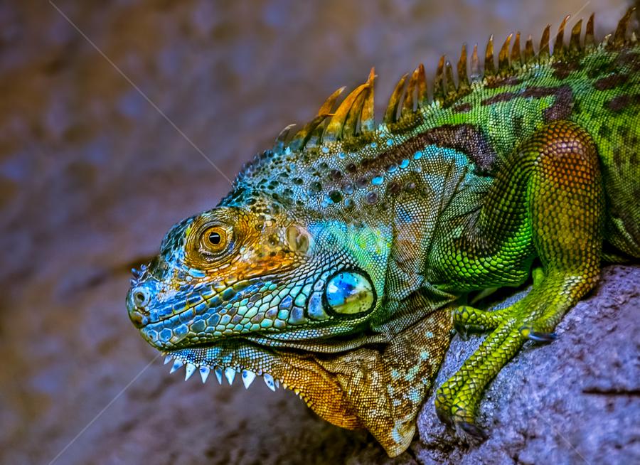Iguana Armor by Mauritz Janeke - Animals Reptiles ( zoo life, zoo, iguana, mauritz, focus, coldblooded, reptile )