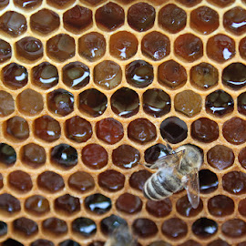 Honeycomb  by Kimberly Gintar - Novices Only Wildlife ( waben, pollen, nature, bee, bienen, honeycomb )