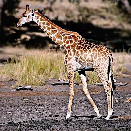 Giraffe by Pieter J de Villiers - Animals Other