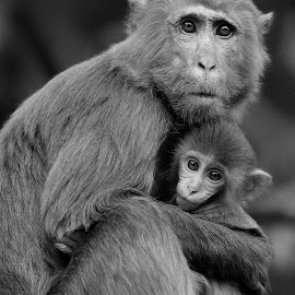 B&W monkeys by Francois Wolfaardt - Black & White Animals ( b&w, nature, mother, monkeys, baby )