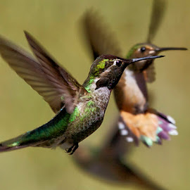 Flight by Pam Wood - Animals Birds ( bird, flying, colorful, green, wings, hummingbird, pamwoodphoto.com, animal )
