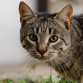 by Bojan Bilas - Animals - Cats Portraits