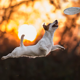 Catch at Sunset by Claudio Piccoli - Animals - Dogs Playing ( flying dogs, jack russel, action, dogs in action, frisbee, disc dog )