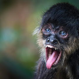 Heavy Metal Monkey by Mark Halliday - Animals Other Mammals ( spider monkey, blue, blue eyes, pink, bokeh, mammal, monkey, eyes )
