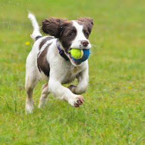 Mali by Hannah Rugg - Animals - Dogs Playing ( springer spaniel, dog )