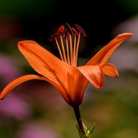 Lily by Garces & Garces - Flowers Single Flower ( orange flower, lily, flower )