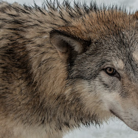 Lone Wolf by Teresa Wilson - Animals Other Mammals ( tundra wolf, animals, wolf, wolves in snow, wolves in winter, wolf pack, wolves, triple d )