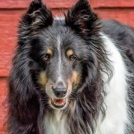 Shetland Sheepdog by Dave Lipchen - Animals - Dogs Portraits ( shetland sheepdog )