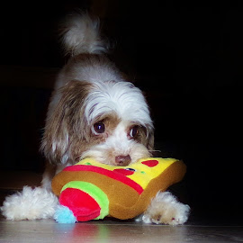 Peter Parker's New Toy by Cheryl Beaudoin - Animals - Dogs Playing ( new, parker, toy, pet, peter, yorkiepoo, dog, puppy eyes )
