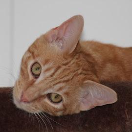 Yoshi by Diane Garcia - Animals - Cats Portraits ( orange, yoshi, cat, kitten, tabby, portrait,  )