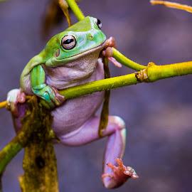 dumpy frog by Hery Nurdin S - Animals Amphibians