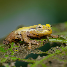 by Eko Probo D Warpani - Animals Amphibians ( animals, macro, nikon, animal )
