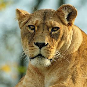 Lionne au repos by Gérard CHATENET - Animals Lions, Tigers & Big Cats (  )