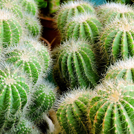cactus by SANGEETA MENA  - Nature Up Close Other plants