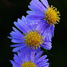 Trio d'asters by Gérard CHATENET - Flowers Flowers in the Wild