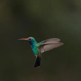 Let me see you fly! by Ruth Jolly - Animals Birds ( bird, nature, wings, hummingbird, wildlife, animal, bird in flight,  )