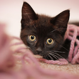 Tuppence by Emma Thompson - Animals - Cats Kittens ( pet photography, cat, kitten, cute cat, pink, baby animals, wool, kitty )
