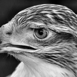 Raptor by Sue Bernhard - Smith - Black & White Animals ( bird, bird of prey, black and white, raptor )