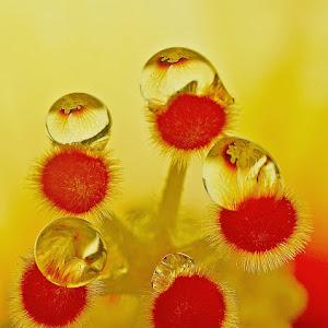 Drops on Hibiscus  Stamen........JPG