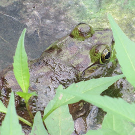Big Beautiful Bullfrog by Marcia Taylor - Animals Amphibians