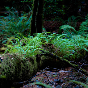 Reclamation by Kenneth Glazebrook - Landscapes Forests ( california, muir woods )