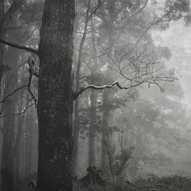 foggy woods by Sue Adorjan - Black & White Landscapes