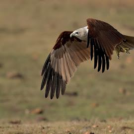 Brahminy kite flight by Ravi Shankar - Animals Birds ( bird shots, bird, ravishankar photography, bird pictures, bird photos, birds, bird photography, bird in flight, birding )