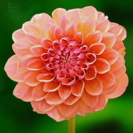 Flutted Orange Dahlia by Jim Downey - Flowers Single Flower ( orange, red, green, dahlia, petals )